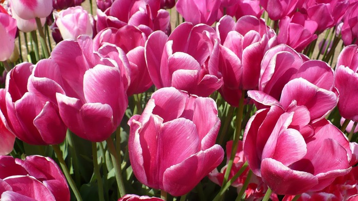 симфония тюльпанов 13864
