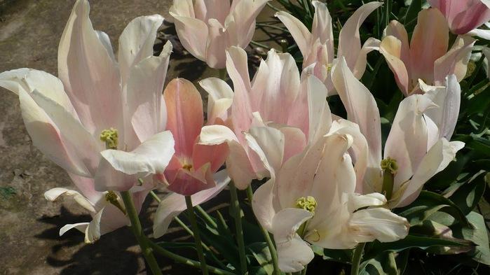симфония тюльпанов 21246