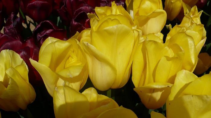 симфония тюльпанов 13402