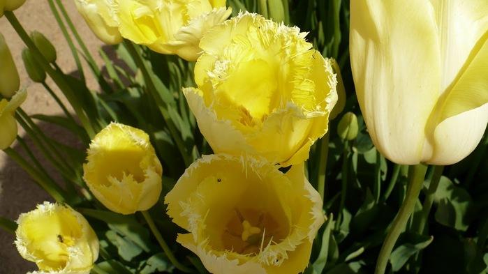 симфония тюльпанов 14403