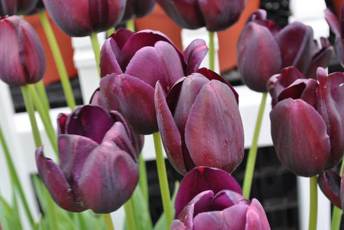 симфония тюльпанов 62514