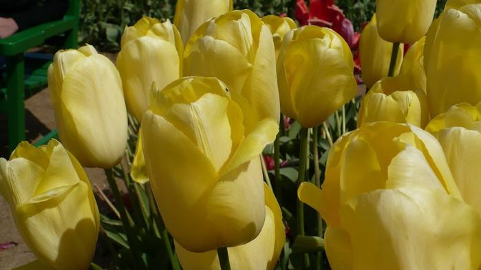 симфония тюльпанов 76714