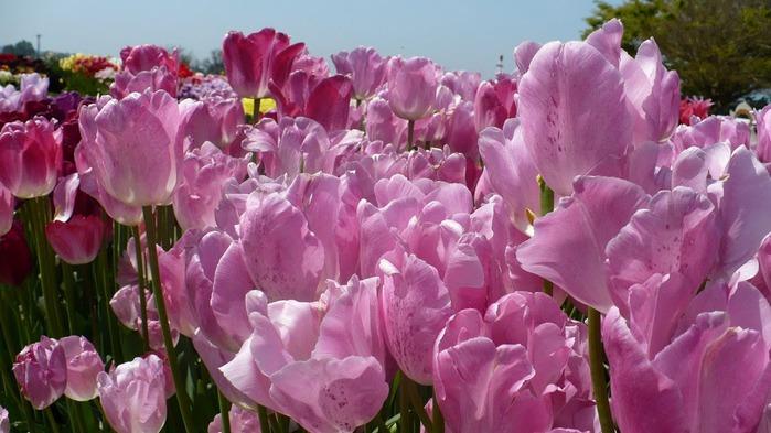 симфония тюльпанов 15319