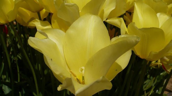 симфония тюльпанов 77728