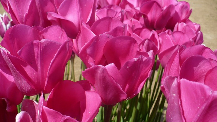 симфония тюльпанов 44320
