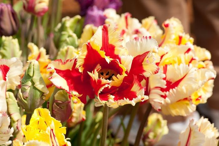 симфония тюльпанов 74530