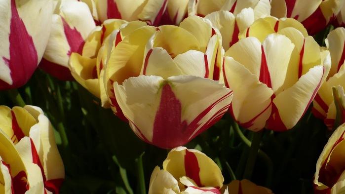 симфония тюльпанов 52252