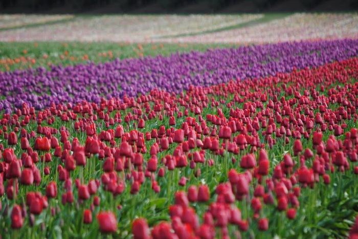 симфония тюльпанов 51252