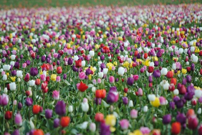 симфония тюльпанов 40370