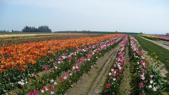 симфония тюльпанов 79333