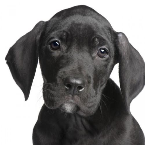 PuppyGreatDanemonths-large (500x500, 44Kb)
