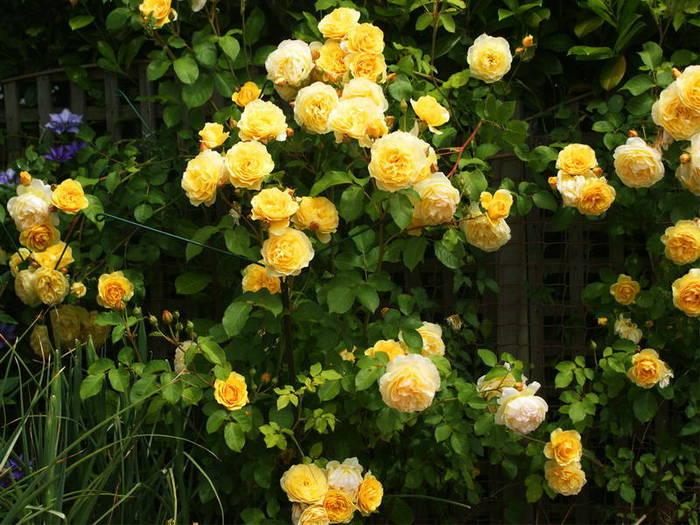 Желтая плетистая роза уход