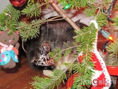1293727891_cats-in-christmas-trees-10 (500x375, 48Kb)