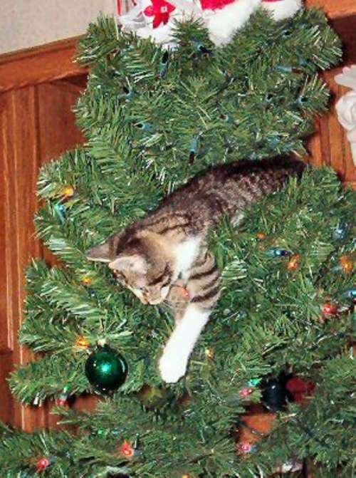 cats-in-christmas-trees-5 (500x671, 60Kb)