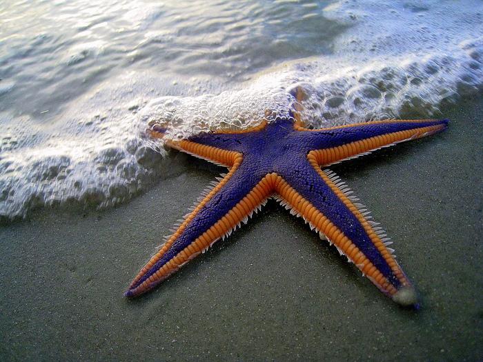 морская звезда (700x525, 303Kb)