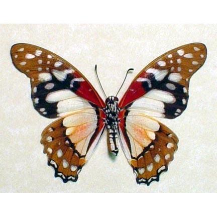 Альбом пользователя ЕкатеринаКостинская: Парусник Анголанус. Коллекция 63 бабочки мира