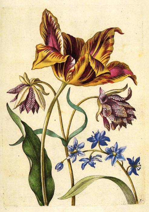 Bluebell or Squill, Tulip Admirla de Moor, Double Fritillary (493x700, 459Kb)
