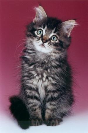 kitten4_jpg_350x500_q85 (300x451, 54Kb)