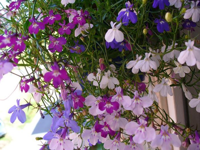 Однолетние цветы картинки 5