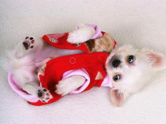2795685_lovely_Puppy_wallpaper_da237005f_wallcoo_com (700x525, 57Kb)