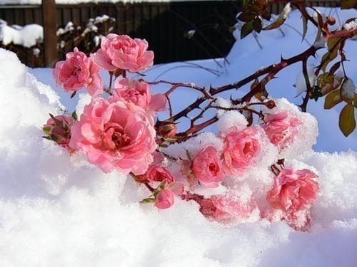 розы-снег на экран компа-хорош.копия (500x375, 65Kb)