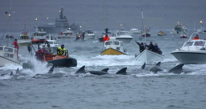 whale-slaughter-in-faroe-islands5-680x360 (680x360, 56Kb)
