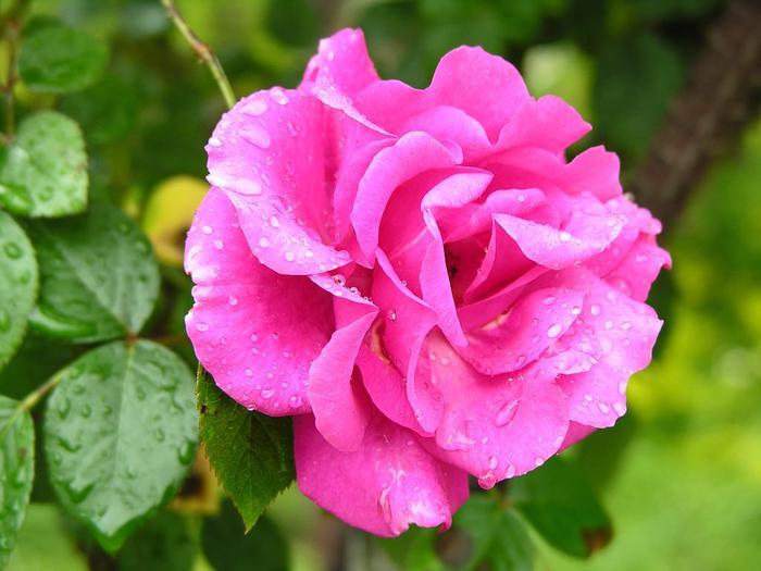 rose-533-24 (700x525, 47Kb)
