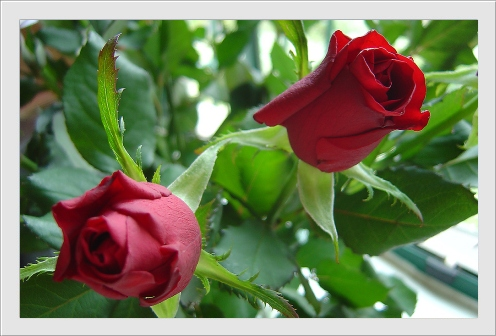carte_rose0055 (496x336, 89Kb)