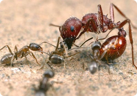 10 фактов о муравьях/1322390179_1321885886_a1 (450x316, 114Kb)