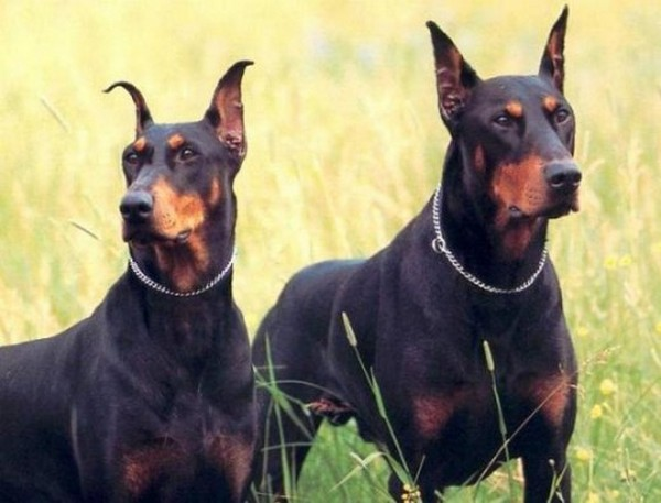 the-most-dangerous-dogs-in-the-world05 (600x457, 56Kb)