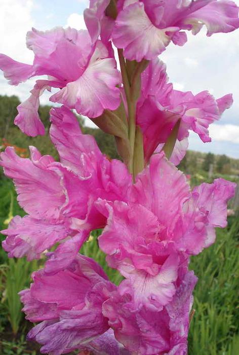 gladiolus_17 033 (472x700, 105Kb)