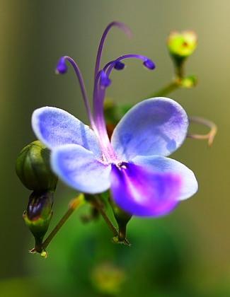 Как называется цветок похожий на бабочку