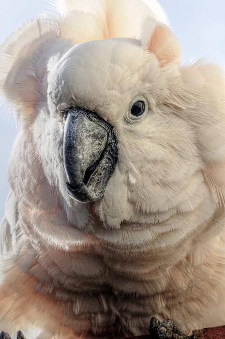 попугай (465x700, 340Kb)