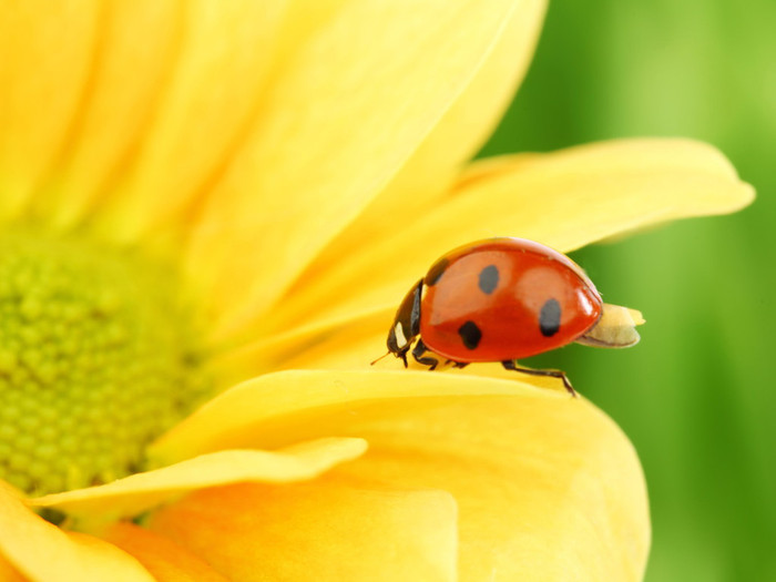 Animals_Insects_Ladybird_on_flower_025025_ (700x525, 58Kb)