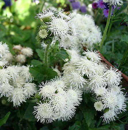 Цветы фото и названия садовые цветы b