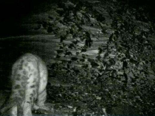 2447247_snow_leopard_1 (520x390, 38Kb)