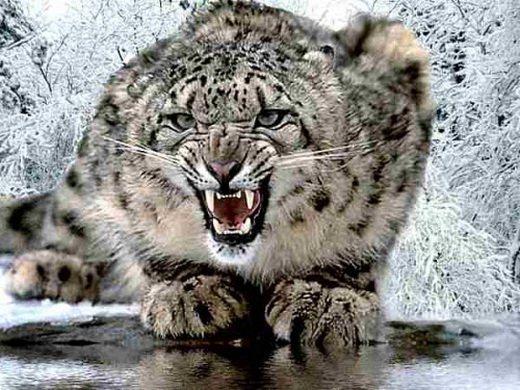 2447247_snow_leopard (520x390, 67Kb)