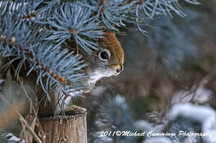 redsquirrel23 (700x464, 114Kb)