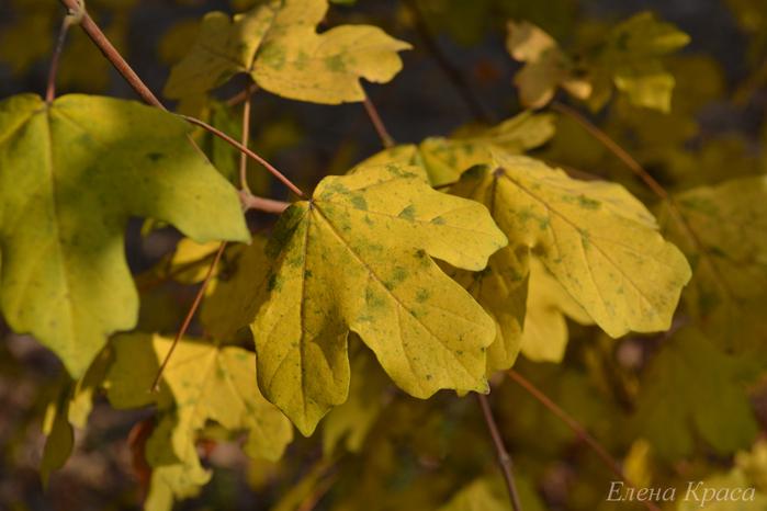 жёлтые - желтые листья/4348076_5noyabrya11031pm (700x466, 252Kb)
