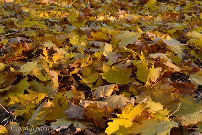 ковер из желтых листьев/4348076_5noyabrya11163pm (700x466, 249Kb)
