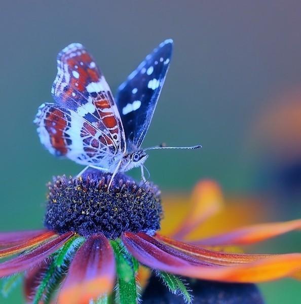 бабочка на цв (594x600, 72Kb)