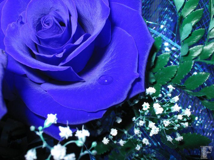 blue_rose_02 (700x525, 75Kb)