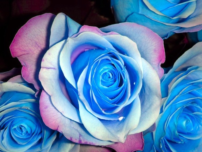 blue_rose_04 (700x525, 104Kb)