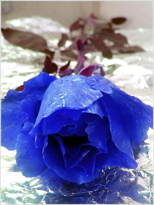 blue_rose_11 (526x699, 188Kb)