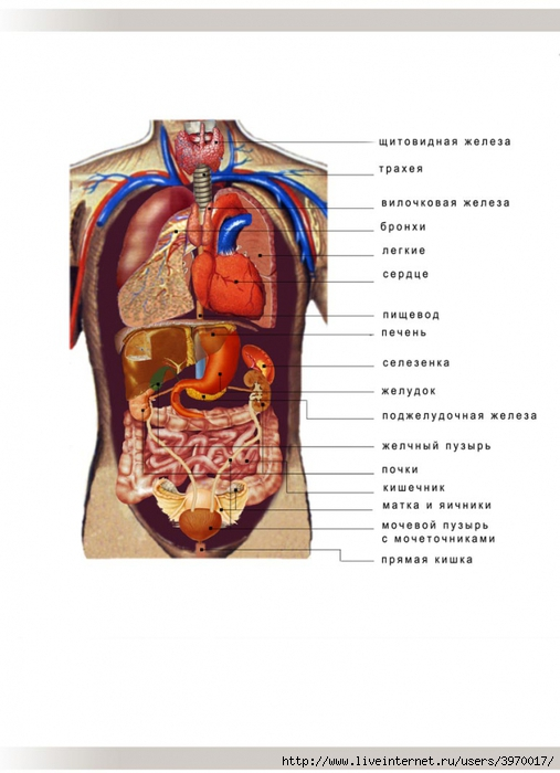 В определенном ритме бьется сердце, сокращается кишечник и работают легкие.