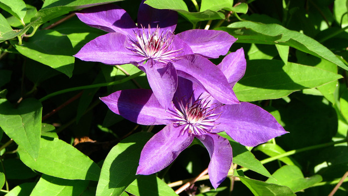 clematis-wallpaper-1366x768 (700x393, 129Kb)