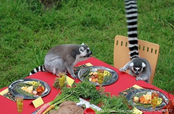 фото лемуры/4295517_1322467622_lemurs_05 (570x373, 176Kb)