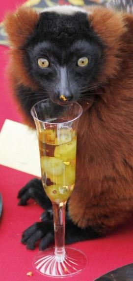 фото лемуров/4295517_1322467626_lemurs_07 (271x570, 39Kb)