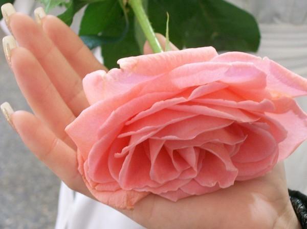 Роза в руке (600x449, 51Kb)