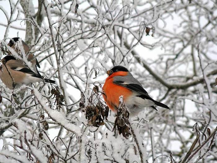 Пение птицы простенькое .